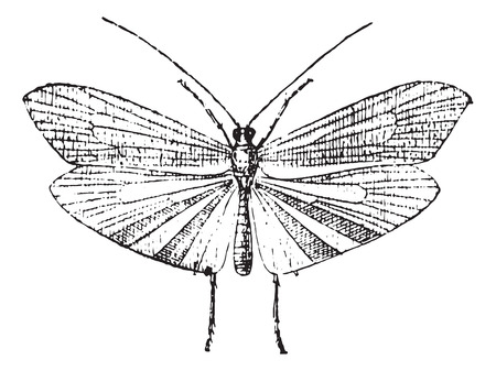 sedge: Caddisfly, vintage engraved illustration. Dictionary of words and things - Larive and Fleury - 1895. Illustration