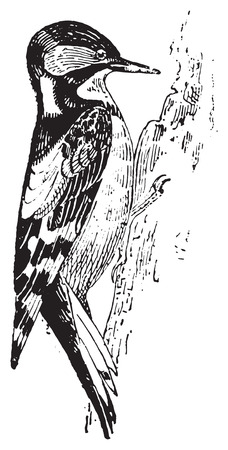 Los pájaros carpinteros o piculets o wrynecks o sapsuckers, cosecha ilustración grabada. Diccionario de palabras y las cosas - Larive y Fleury - 1895.