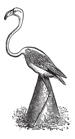Flamingo Nest, shown is a flamingo sitting on a nest made of a mound of mud, vintage engraved illustration. Dictionary of Words and Things - Larive and Fleury - 1895