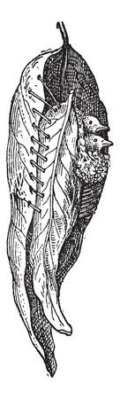 広いから成って、ウグイスの調整またはシルビア sutoria の巣の葉、草のヴィンテージの刻まれた図の中の植物繊維で縫製。辞書の言葉や物事 - Larive