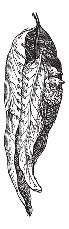 broad: Nest of the Tailor Warbler or Sylvia sutoria, made of a broad leaves, sewn with plant fiber, with grass inside, vintage engraved illustration. Dictionary of Words and Things - Larive and Fleury - 1895 Illustration
