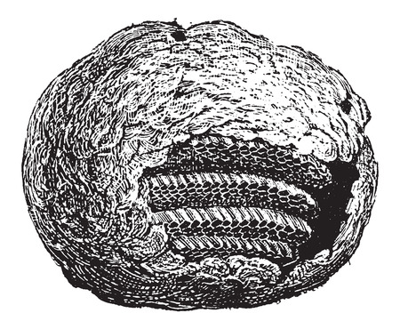 partial: Wasp Nest, partial cross-section showing comb cells, made of chewed wood fiber, vintage engraved illustration. Dictionary of Words and Things - Larive and Fleury - 1895 Illustration