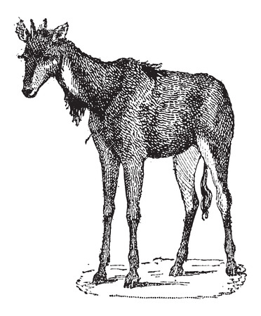 Nilgai, Nilgau or Boselaphus tragocamelus, vintage engraved illustration. Dictionary of Words and Things - Larive and Fleury - 1895