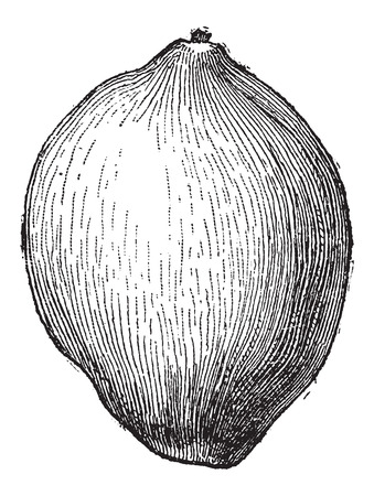 nucifera: Coconut or Cocos nucifera, showing fruit, vintage engraved illustration. Dictionary of Words and Things - Larive and Fleury - 1895