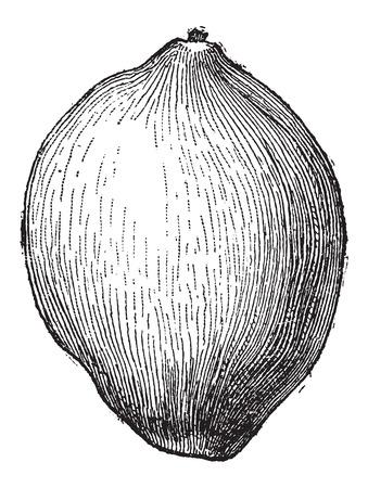 noix de coco: Noix de coco ou Cocos nucifera, montrant fruits, mill�sime grav� illustration. Dictionnaire des mots et des choses - Larive et Fleury - 1895