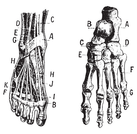 metatarsal: Foot, Fig 1. Muscles, Fig 2. Skeleton, vintage engraved illustration. Dictionary of words and things - Larive and Fleury - 1895.