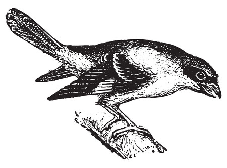 passerine: Shrike, vintage engraved illustration. Dictionary of words and things - Larive and Fleury - 1895. Illustration