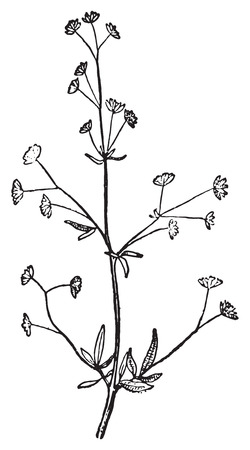 Cohosh, vintage engraved illustration. Dictionary of words and things - Larive and Fleury - 1895.