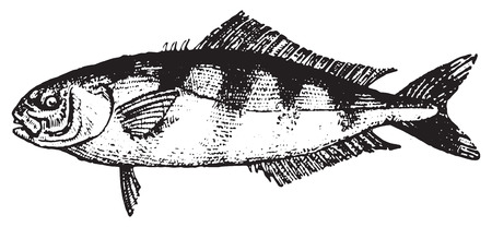Pilot fish or Naucrates ductor, vintage engraved illustration. Dictionary of words and things - Larive and Fleury - 1895.