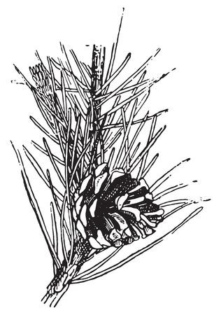 Grove den of Pinus sylvestris, vintage gegraveerde illustratie. Woordenboek van woorden en dingen - Larive en Fleury - 1895.