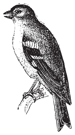 finch: Finch, vintage engraved illustration. Dictionary of words and things - Larive and Fleury - 1895.
