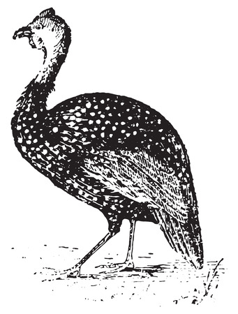 Guinea Fowl, vintage engraved illustration. Dictionary of words and things - Larive and Fleury - 1895.