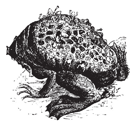 pipa: Pipa Pipa or Surinam Toad or star-fingered toad, vintage engraved illustration. Dictionary of words and things - Larive and Fleury - 1895.