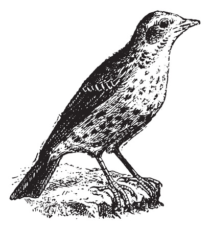 wagtail: Pipit, vintage engraved illustration. Dictionary of words and things - Larive and Fleury - 1895.