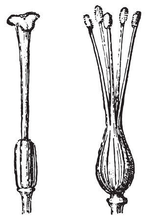Gynoecium or Pistil, vintage engraved illustration. Dictionary of words and things - Larive and Fleury - 1895.