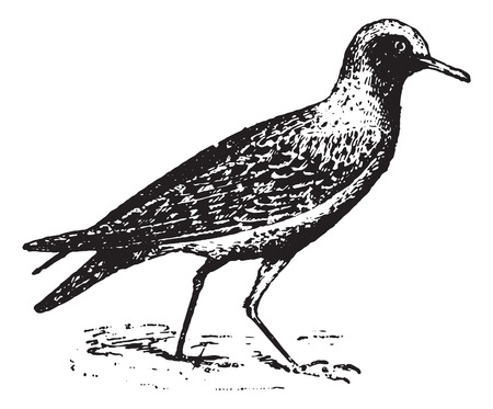 piping: Piping plover, vintage engraved illustration. Dictionary of words and things - Larive and Fleury - 1895.