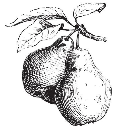 Poire, illustration vintage gravé. Dictionnaire des mots et des choses - Larive et Fleury - 1895. Banque d'images - 35364627