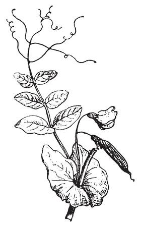 plants species: Piselli, vintage illustrazione inciso. Dizionario di parole e cose - Larive e Fleury - 1895.