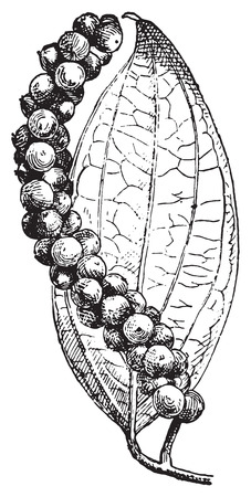 Black pepper or Piper nigrum, vintage engraved illustration. Dictionary of words and things - Larive and Fleury - 1895. Çizim