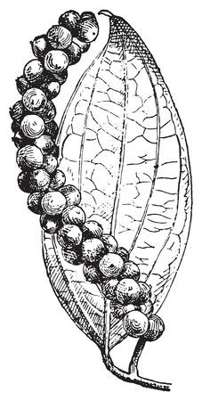 poivre noir: Le poivre noir ou Piper nigrum, illustration vintage grav�. Dictionnaire des mots et des choses - Larive et Fleury - 1895.