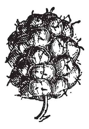 Common Blackberry or Rubus fruticosus, showing fruit, vintage engraved illustration. Dictionary of Words and Things - Larive and Fleury - 1895 Illustration