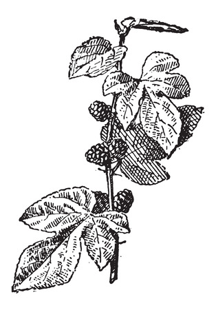 Mulberry or Morus sp., vintage engraved illustration. Dictionary of Words and Things - Larive and Fleury - 1895
