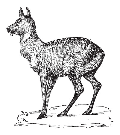 vulnerable: Siberian Musk Deer or Moschus moschiferus, vintage engraved illustration. Dictionary of Words and Things - Larive and Fleury - 1895