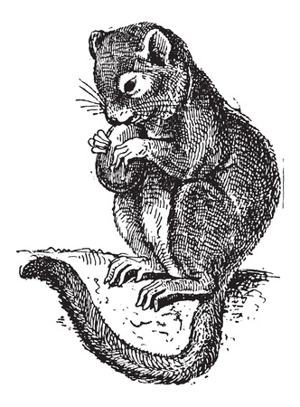 Dormouse or Gliridae, vintage engraved illustration. Dictionary of Words and Things - Larive and Fleury - 1895 Illustration