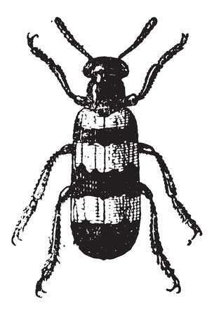 chitin: Mylabris, vintage engraved illustration. Dictionary of Words and Things - Larive and Fleury - 1895