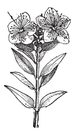 myrtle: Common Myrtle or Myrtus communis, showing flowers, vintage engraved illustration. Dictionary of Words and Things - Larive and Fleury - 1895