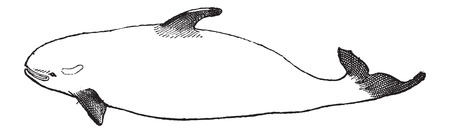 orcinus: Killer Whale or Orcinus orca, vintage engraved illustration. Dictionary of Words and Things - Larive and Fleury - 1895 Illustration