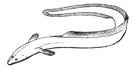 tail fin: Fins, de una anguila o Anguilliformes, mostrando las aletas dorsal y anal fusionadas con el caudal o la aleta de la cola, cosecha ilustraci�n grabada. Diccionario de palabras y las cosas - Larive y Fleury - 1895