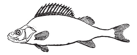 the perch: Fins, of Perch or Perca sp., showing a pectoral, pelvic, dorsal, anal, and caudal fins, vintage engraved illustration. Dictionary of Words and Things - Larive and Fleury - 1895