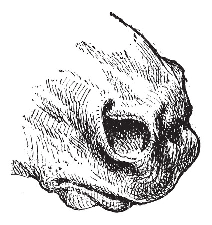 nostril: Nostril, of a Horse or Equus ferus caballus, vintage engraved illustration. Dictionary of Words and Things - Larive and Fleury - 1895 Illustration