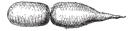 resonating: Swim Bladder, of a Fish, vintage engraved illustration. Dictionary of Words and Things - Larive and Fleury - 1895