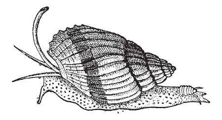 gastropod: Olfactory Organ (the lower pair of tentacles), of a Snail, vintage engraved illustration. Dictionary of Words and Things - Larive and Fleury - 1895