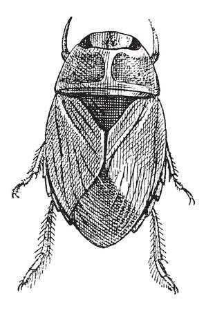 creeping: Creeping Bug agua o Naucoridae, cosecha ilustraci�n grabada. Diccionario de palabras y las cosas - Larive y Fleury - 1895