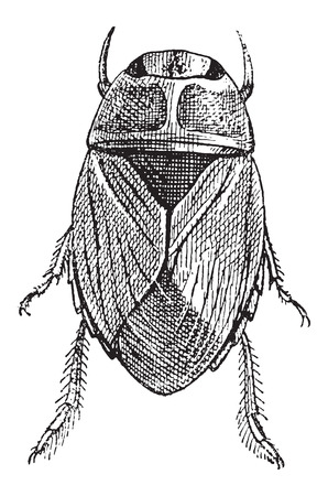 exoskeleton: Creeping Water Bug or Naucoridae, vintage engraved illustration. Dictionary of Words and Things - Larive and Fleury - 1895
