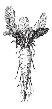 rzepa: Długi Brassica rapa Rzepa lub var. rapifera, pokazując korzeniowy, vintage grawerowane ilustracji. Słownik słów i rzeczy - Larive i Fleury - 1895