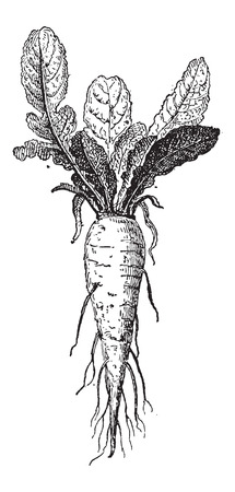 brassica: Long  Turnip or Brassica rapa var. rapifera, showing root, vintage engraved illustration. Dictionary of Words and Things - Larive and Fleury - 1895 Illustration