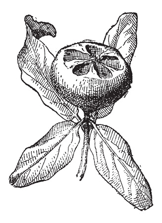 rosaceae: Common Medlar or Mespilus germanica, vintage engraved illustration. Dictionary of Words and Things - Larive and Fleury - 1895
