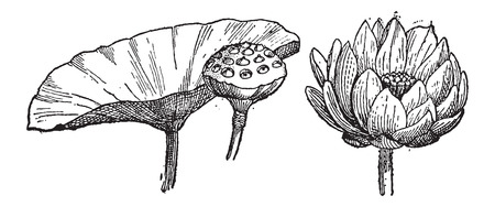 tuber: Yellow Lotus or Nelumbo lutea, showing leaf and seed pod (left) and flower (right), vintage engraved illustration. Dictionary of Words and Things - Larive and Fleury - 1895 Illustration