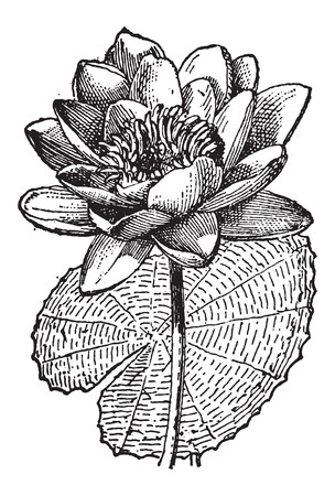 nenuphar: White Lotus or Nymphaea alba, showing flower, vintage engraved illustration. Dictionary of Words and Things - Larive and Fleury - 1895 Illustration