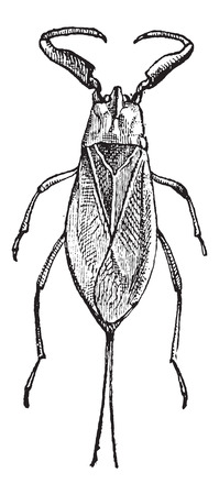 chitin: Water Scorpion or Nepa cinerea, vintage engraved illustration. Dictionary of Words and Things - Larive and Fleury - 1895