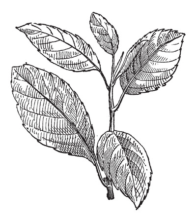 buckthorn: Common Buckthorn or Rhamnus cathartica, vintage engraved illustration. Dictionary of Words and Things - Larive and Fleury - 1895