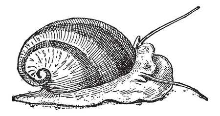 exoskeleton: Nerite or Neritidae, vintage engraved illustration. Dictionary of Words and Things - Larive and Fleury - 1895