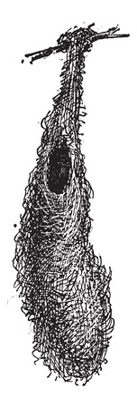 Oropendola バスケットの巣または Psarocolius sp.、草、小枝で作られた葉、ヴィンテージの刻まれた図の木の枝に接続されています。辞書の言葉や物事 - La  イラスト・ベクター素材
