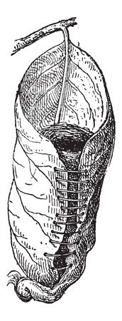 Nest of a Tailorbird or Orthotomus sp., made of a broad leaf, sewn with plant fiber, with grass inside, vintage engraved illustration. Dictionary of Words and Things - Larive and Fleury - 1895 Vector