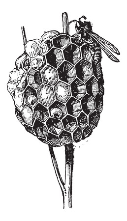 chitin: Nest or Hive, of Paper Wasp or Polistes sp., vintage engraved illustration. Dictionary of Words and Things - Larive and Fleury - 1895