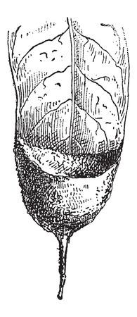隠者ハチドリや広い葉、ヴィンテージの刻まれた図に接続されている Phaethornithinae の巣。辞書の言葉や物事 - Larive 氏 - 1895